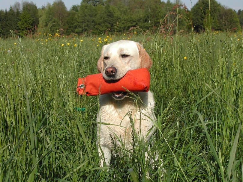 Labrador Training