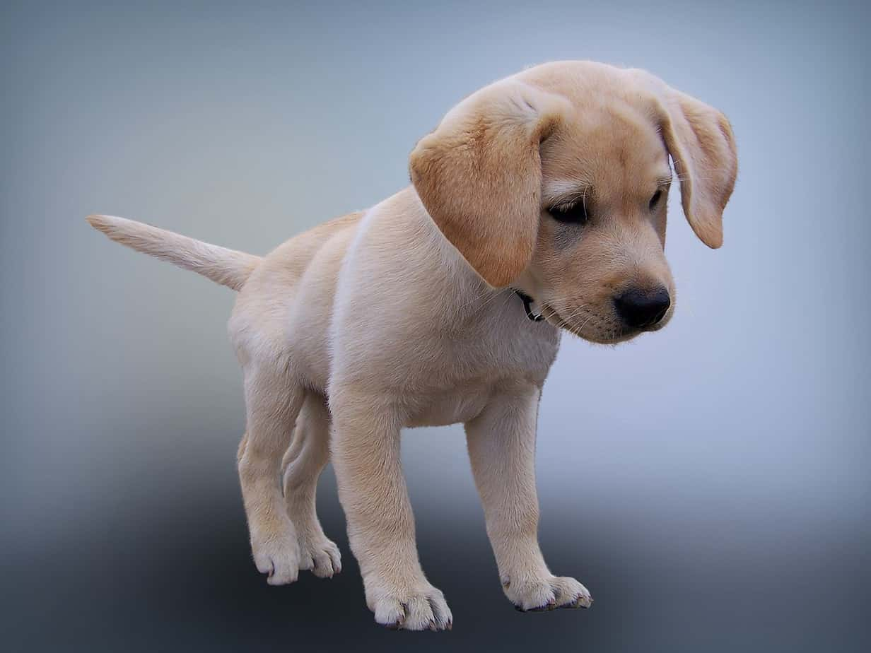 Buy Labrador Puppies For Sale In New South Wales Australia