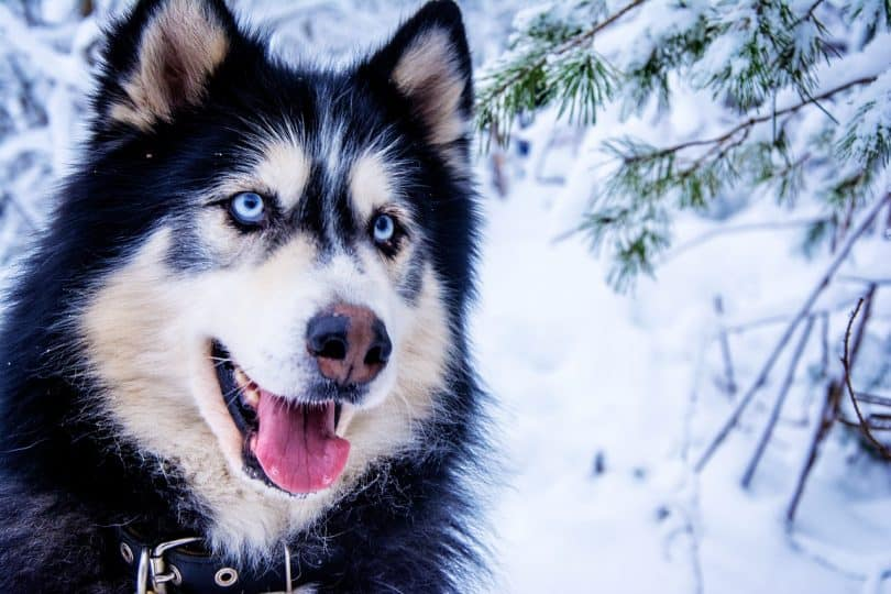 Best Dog Food For Huskies
