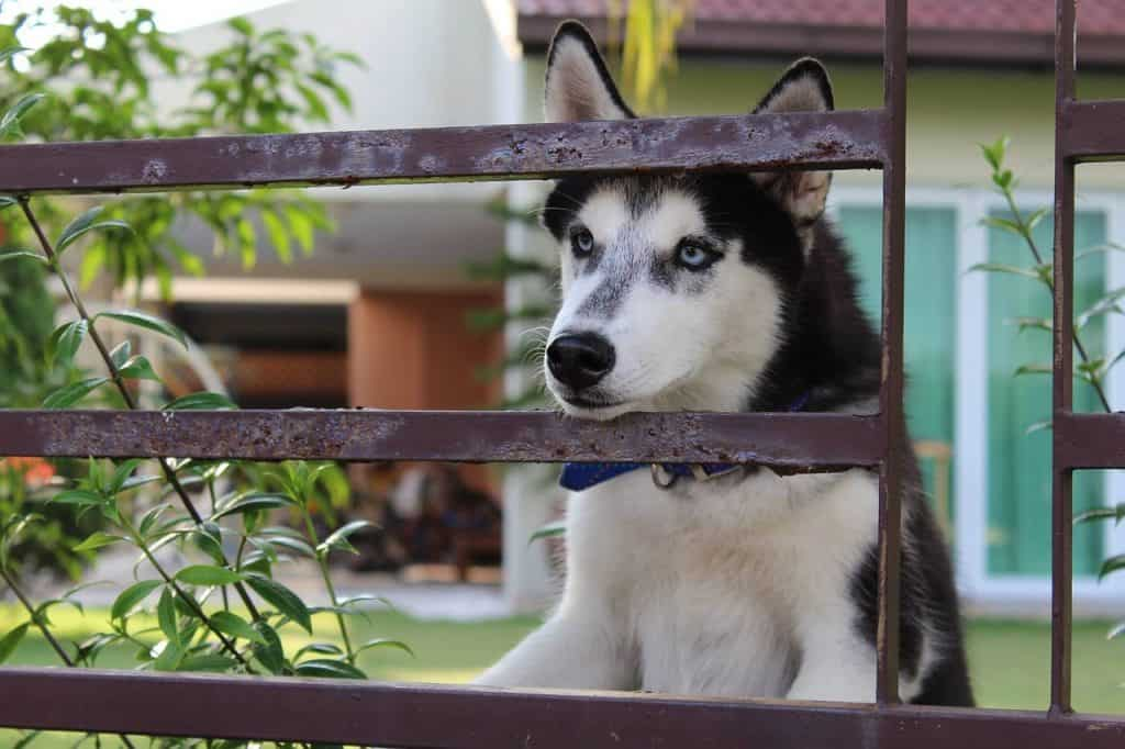 Husky waiting for dog food