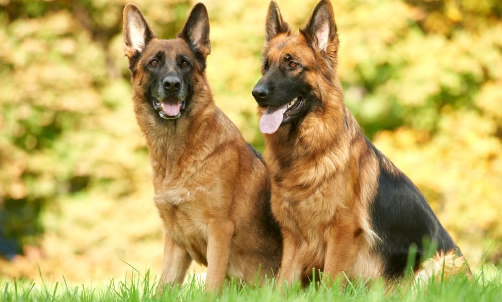 German Shepherds Nutritional Requirements