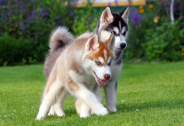 How Much To Feed A Husky Puppy