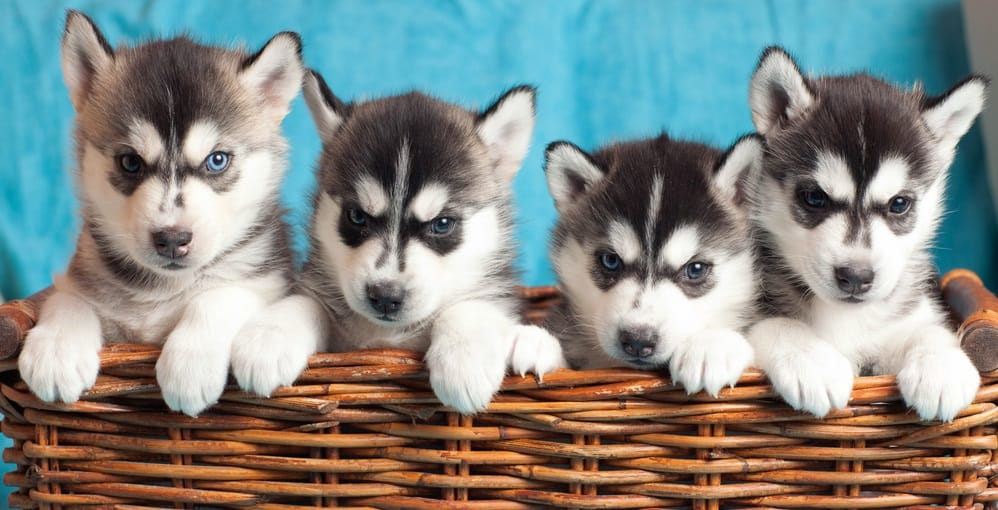 Siberian Husky Puppies Diet