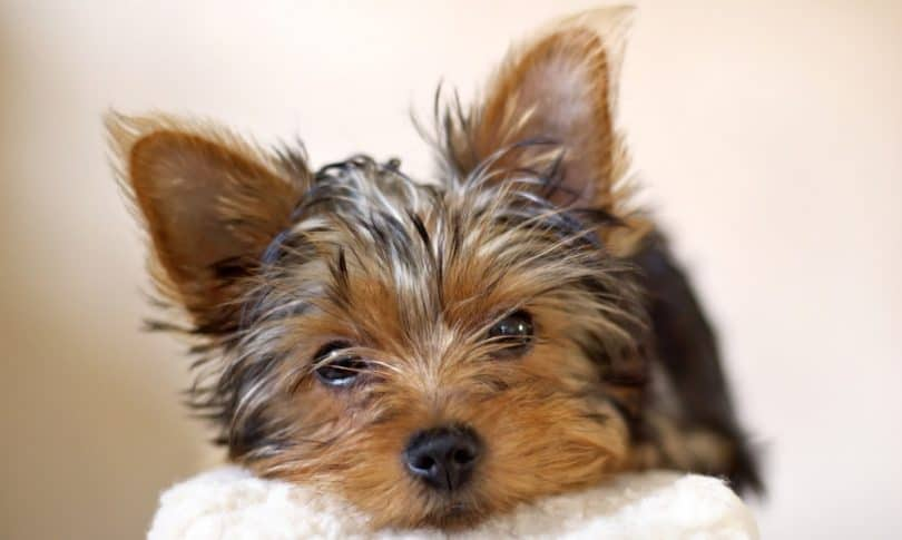 How Much To Feed A Yorkie Puppy