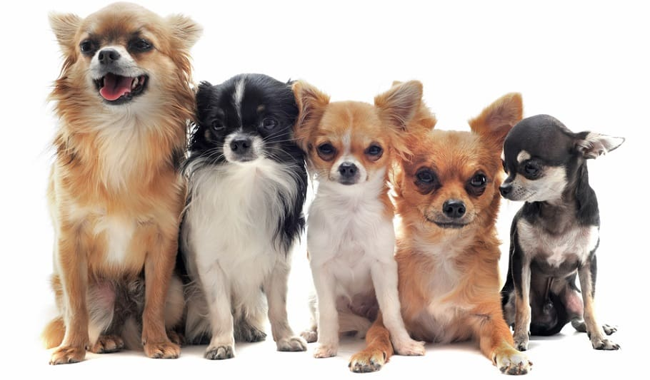 Chihuahua Puppy Growth Factors