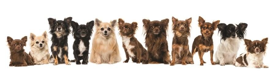 Chihuahua Weight Chart Development