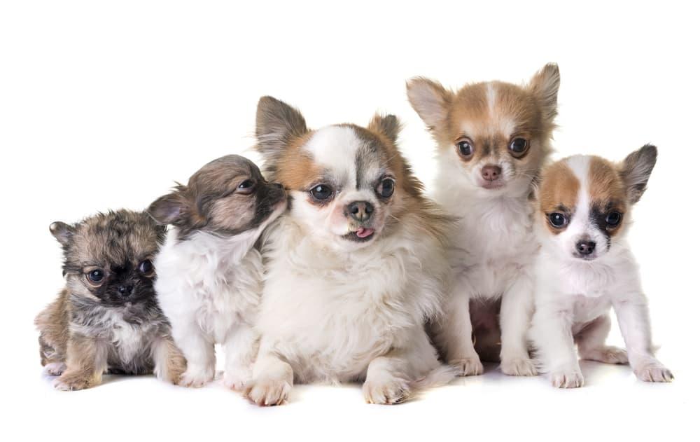 Chihuahuas Pregnant