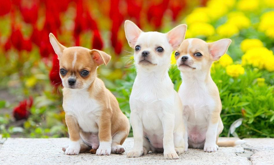 Chihuahuas Puppies Cost