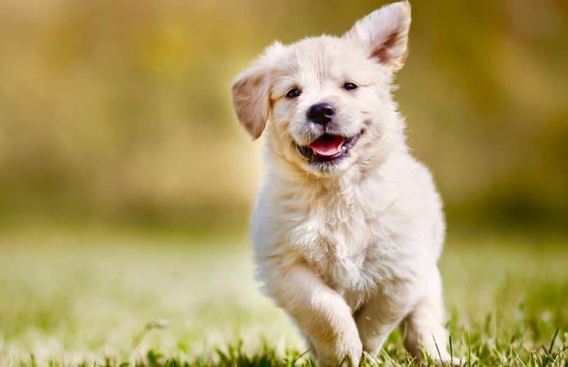 Golden Retriever Growth Chart Puppy