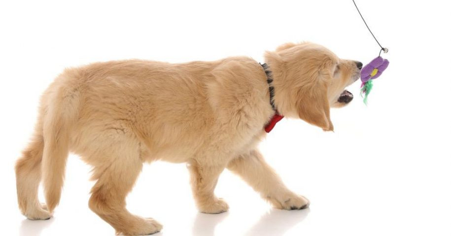 Golden_Retriever_In_Shape