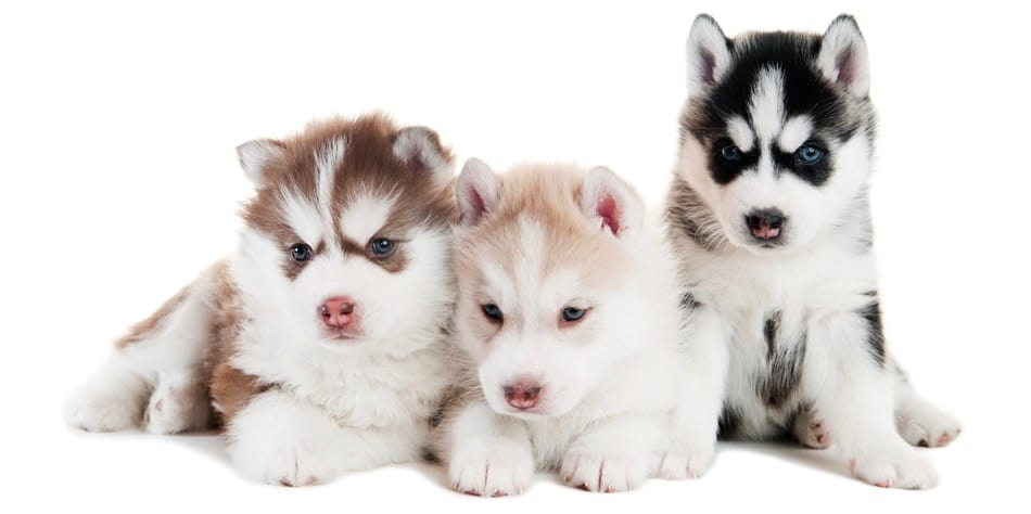Husky Puppy Development