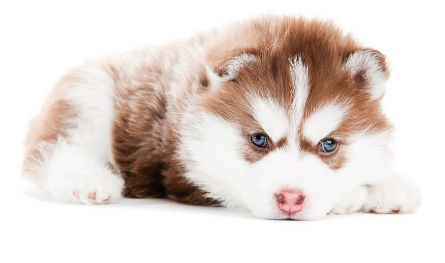 Siberian Husky Cost