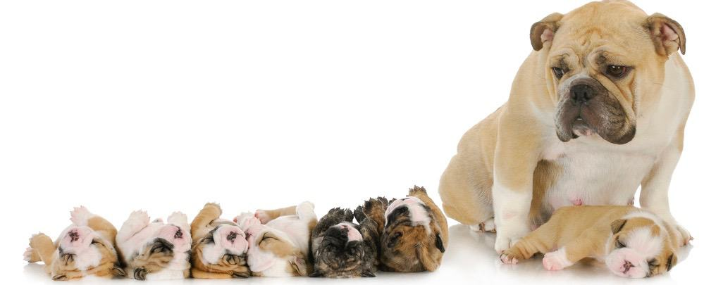 English Bulldog Pregnancy