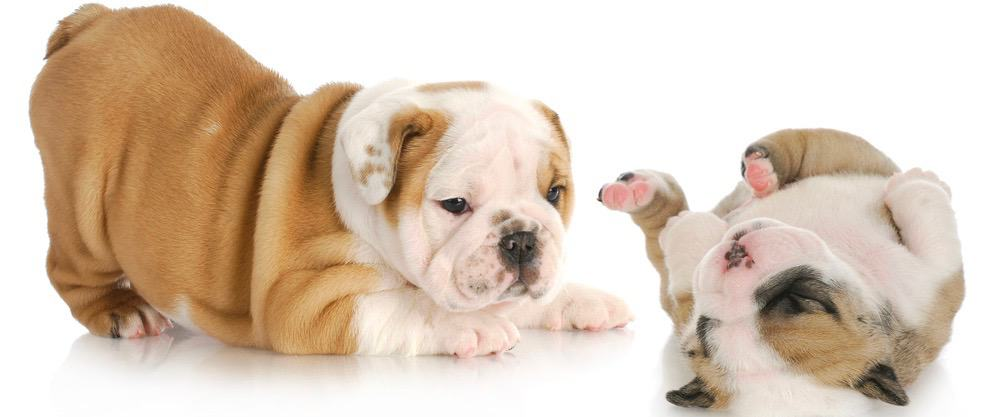 English Bulldog Puppy Growth
