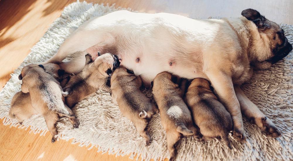 Pug Pregnancy