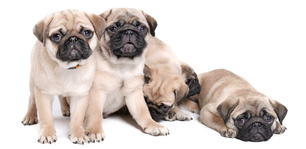Pug_Puppies_Growth