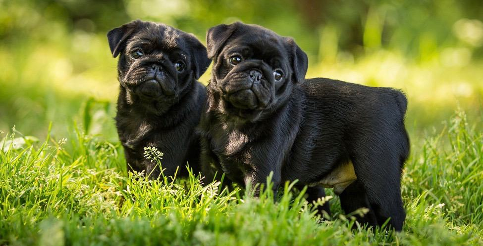 Pugs Development Stages