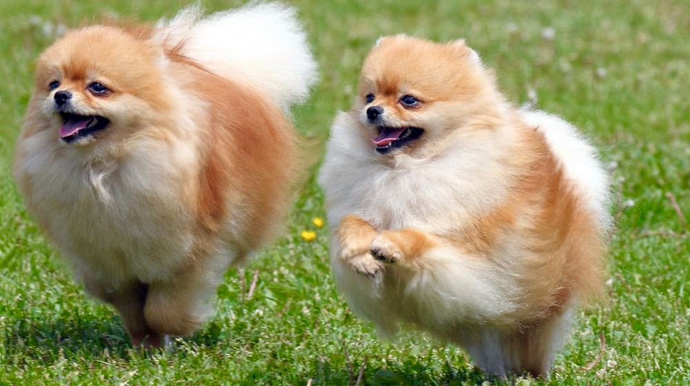 Pomeranian Body Shape Changes