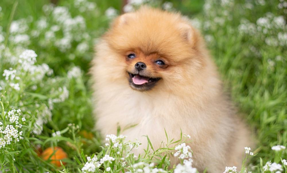Pomeranian Cost