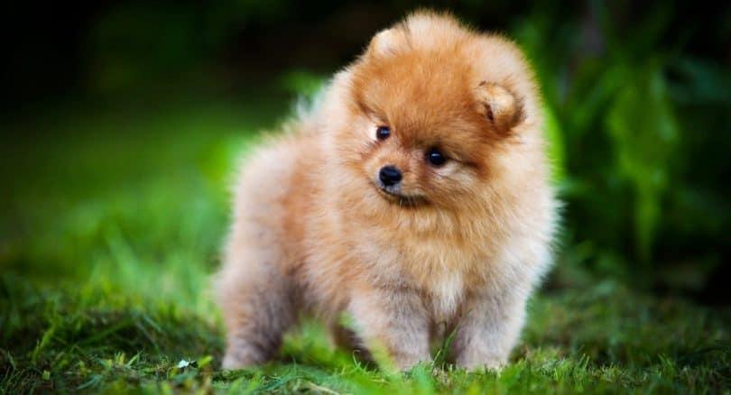 Pomeranian Growth Chart