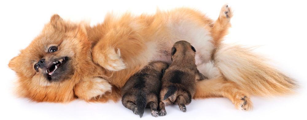 Pomeranian Pregnancy