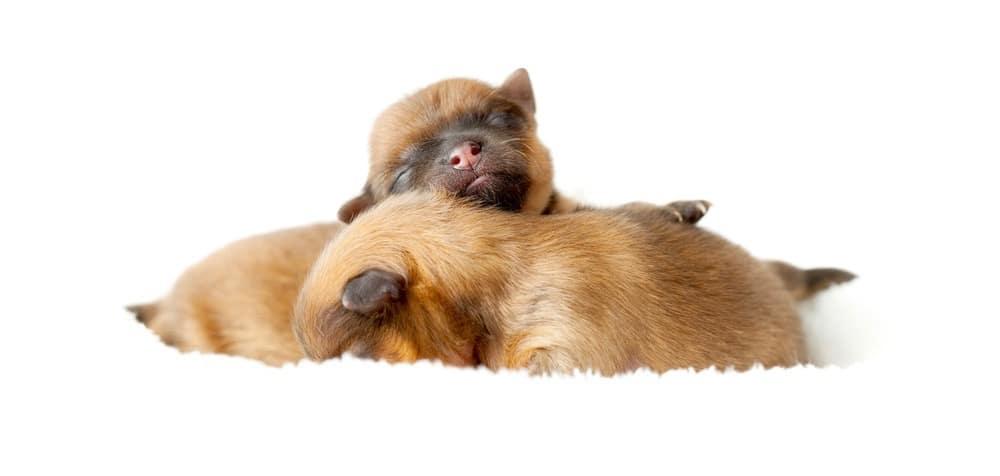 Pomeranian Puppy Development