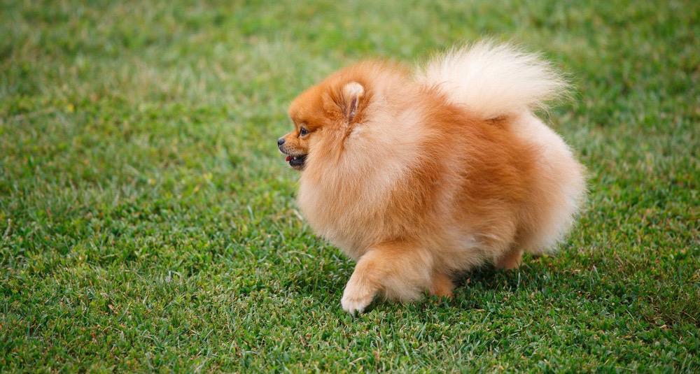 Pomeranian Weight
