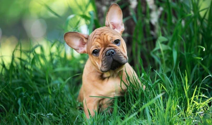 How Much To Feed A French Bulldog Puppy