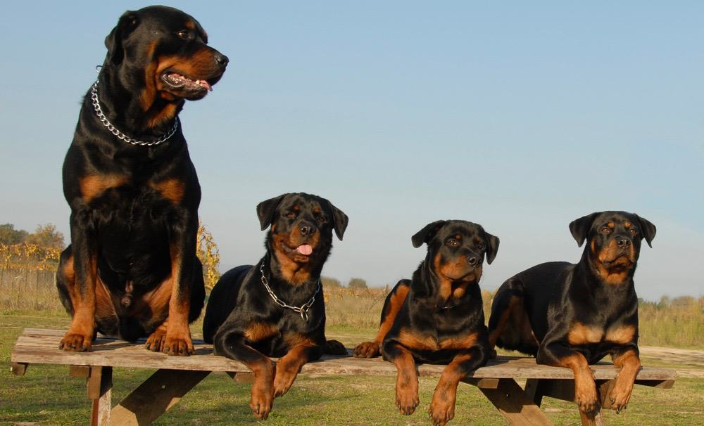 Rottweiler Body Shape Changes