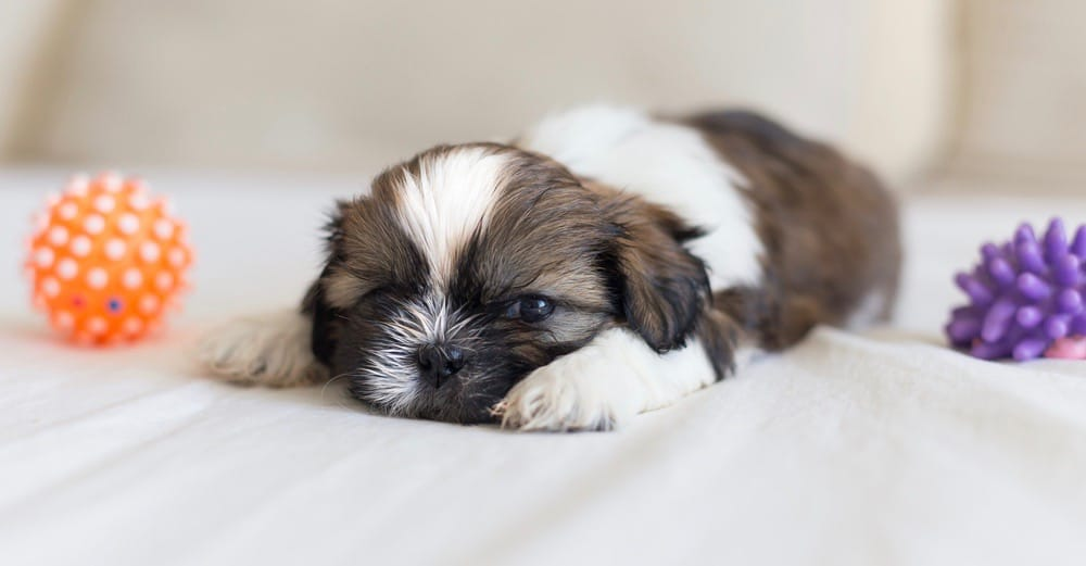 Shih Tzu Development