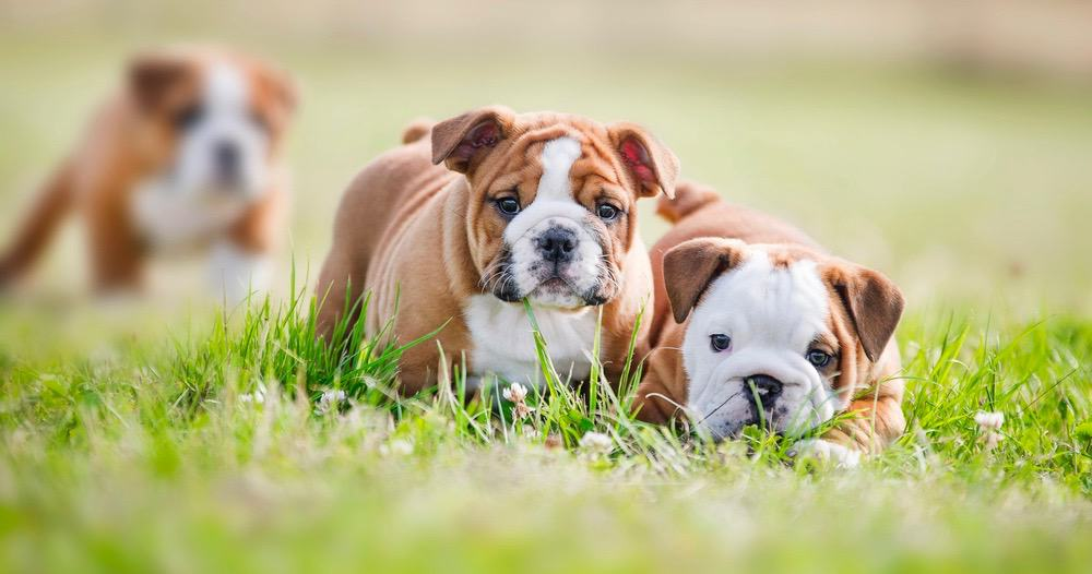 10 Weeks Old English Bulldog Puppy