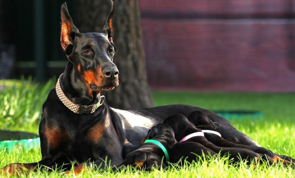 Doberman Puppy Weight Chart