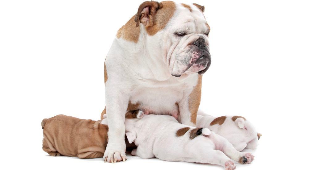 English Bulldog Feeding Schedule