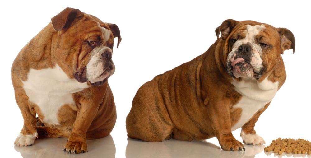 English Bulldog Puppy Food