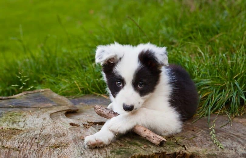 How Much To Feed A Border Collie