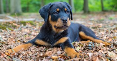 How Much To Feed A Rottweiler Puppy