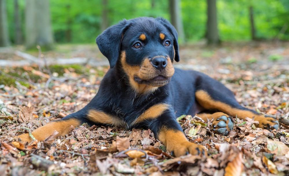 View Ad: Rottweiler Puppy for Sale near Japan