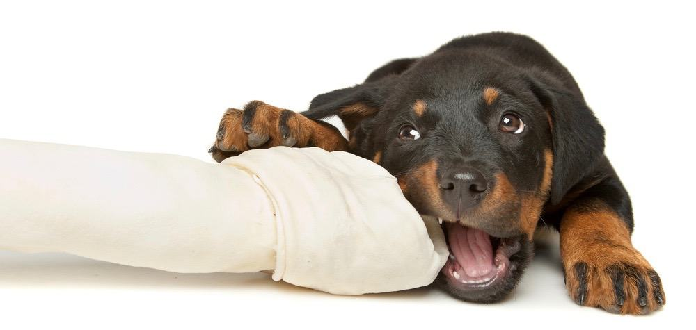 Rottweiler Eating Schedule