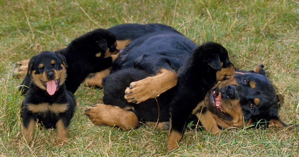 Rottweiler Puppy Feeding Habits