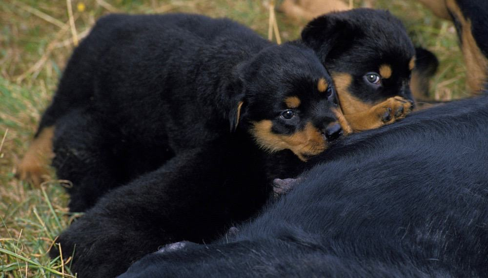Rottweiler Puppy Food