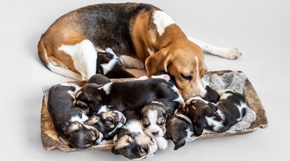Beagle Development