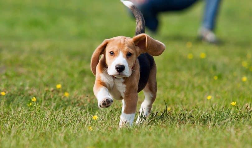 Beagle Growth Chart