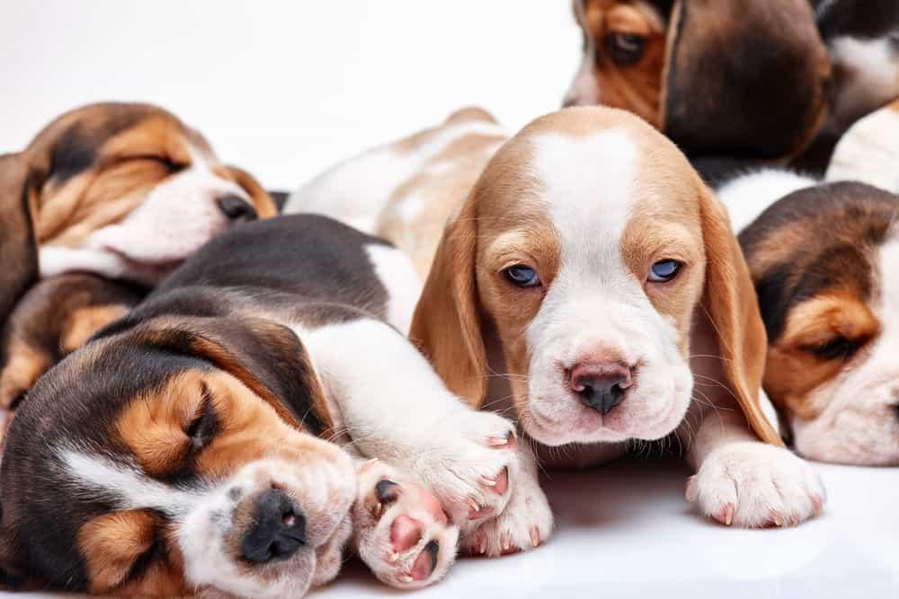 Beagle Puppies Growth