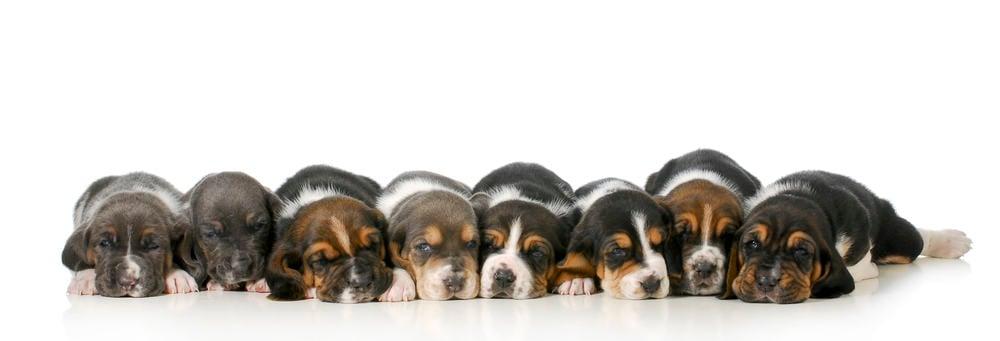 Beagle Puppy Growth Chart