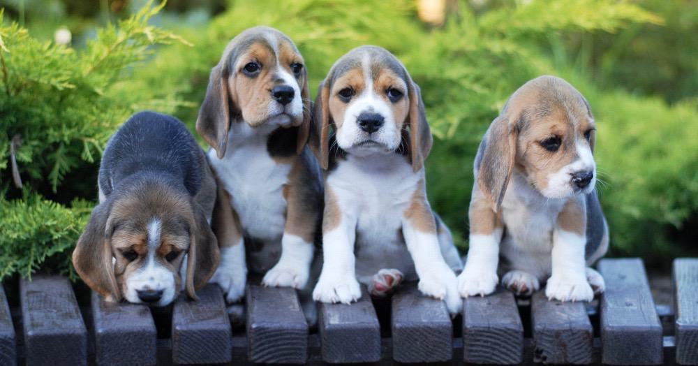 Beagles Pregnancy