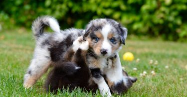 How Much To Feed Australian Shepherd