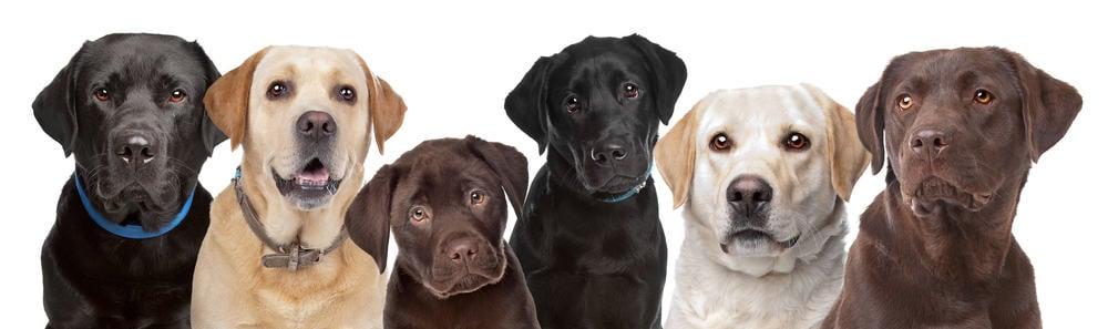 Labrador Development