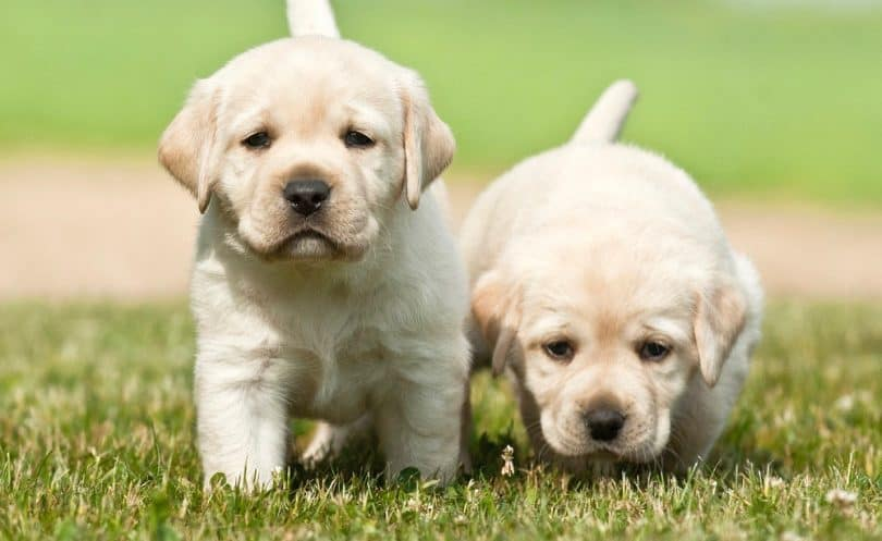 Labrador Growth Chart | Lab Puppy Weight Chart & Height Chart