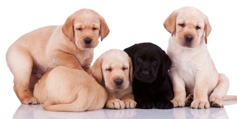 Labrador Puppy Weight Chart