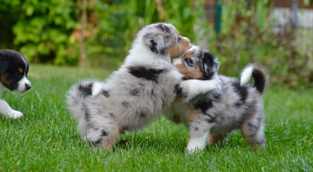 Australian Shepherd Development